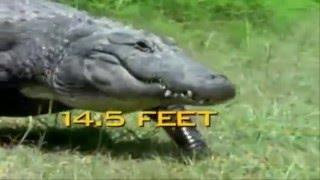 Гребнистый крокодил против миссисипского аллигатора