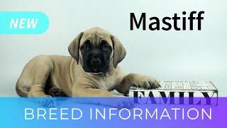 English Mastiff | Dog Breed Information