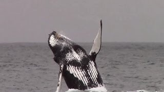 4.22.15 Breaching Humpback Whales & Common Dolphins #Monterey #Adventure #Travel