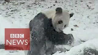 Cute giant panda shows how to have fun in snow
