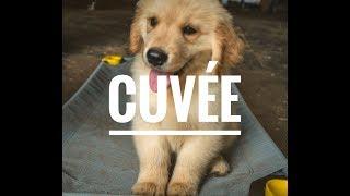 Season's Gold Golden Retriever Puppy Prodigy Cuvee