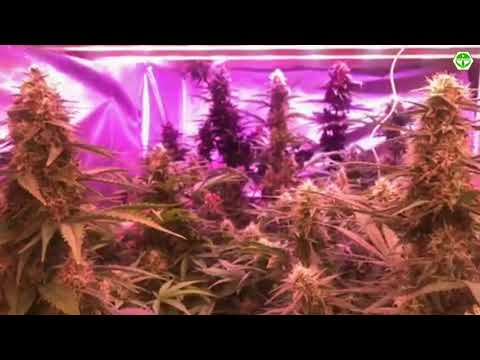 Grow Indoor Marijuana. AUTO FEM. Hemp.