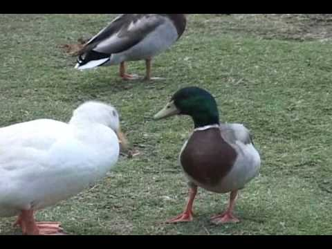 Domestic Duck vs Feral Mallard