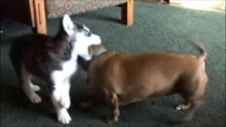 Siberian Husky Pup And Dachshund Playing