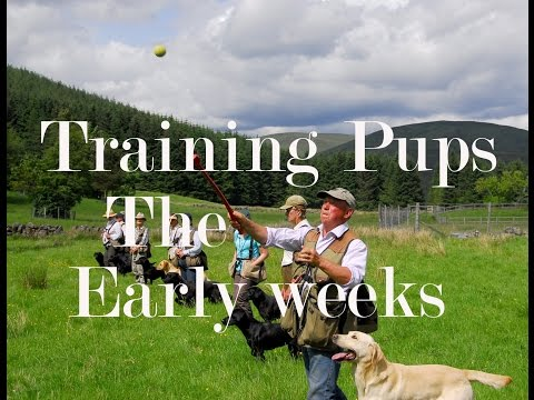 dog-training-with-oakshot-gundogs.-labrador-puppy-recall-and-retrieving.