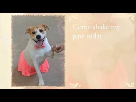 Starka - Adoptable Dog at Collin County Animal Services