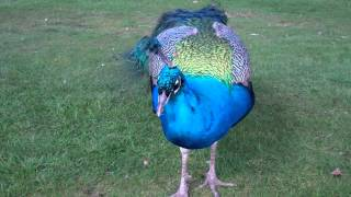 March Close Up View Peacock Scone Palace Perth Perthshire Scotland