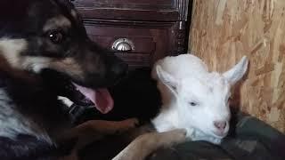 Козочка и собака в доме.Собака вылизывает козочку.