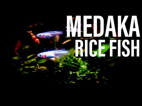Adding Medaka Rice Fish (Finishing Up The Dry Start)