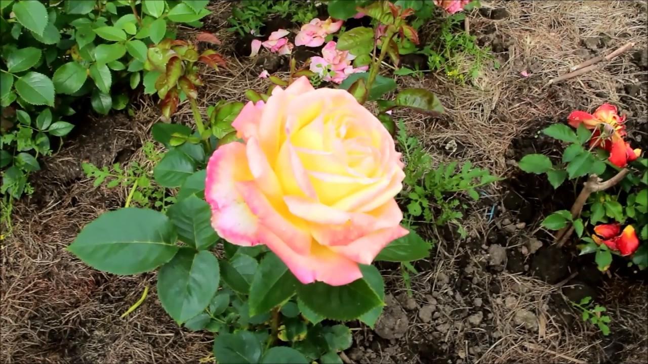 Отцвела роза как обрезать