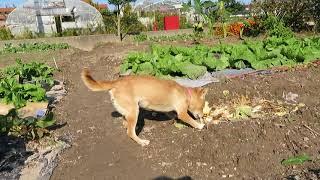 畑で遊ぶ山陰柴犬さくらですが、とにかく落ち着きがありません(笑)