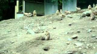 Prairie Dog Warning Bark