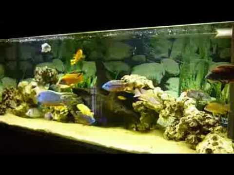 malawi cichliden aquarium 150x50x50 aulonoara youtube. Black Bedroom Furniture Sets. Home Design Ideas