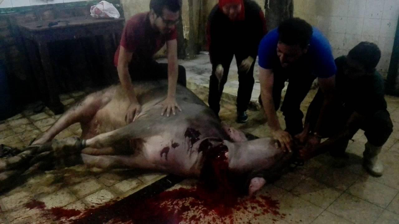 فتاة مصرية تذبح عجل جاموسي بمهارة بالإسكندرية 2 Youtube