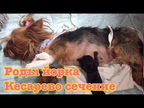 VLOG: Роды йорка, Юсе сделали кесарево сечение,спасаем щенков.часть 2