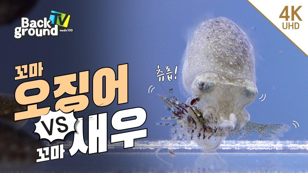 쪼꼬미 갑오징어의 사냥이 시작됐다! cuttlefish hunting [4K]