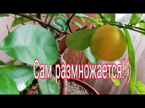 Размножение Каламондина./Косточки проросли внутри плода!!)/ Мой эксперимент!