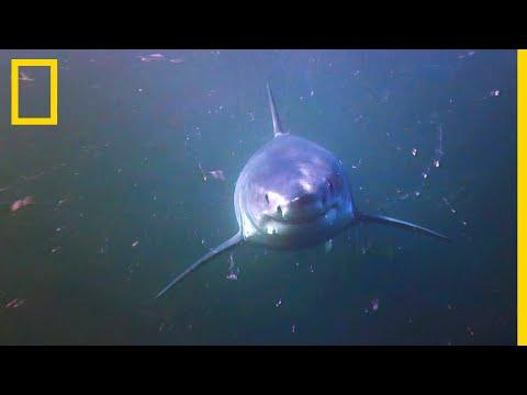 Le grand requin blanc, dominateur né | SHARK ZONE