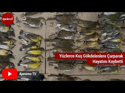 Yüzlerce Kuş Gökdelenlere Çarparak Hayatını Kaybetti