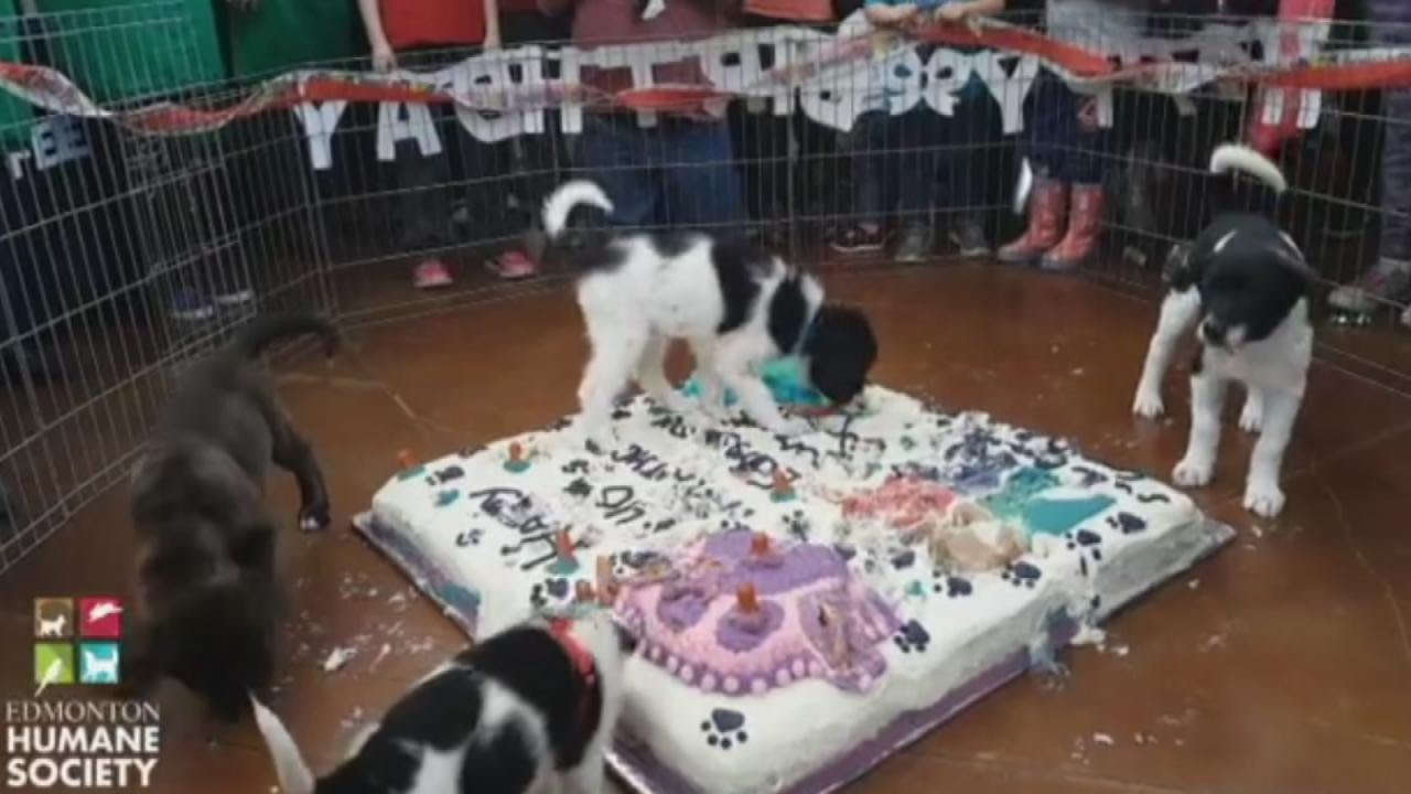 Watch Shelter Dogs Smash Huge Birthday Cake For Humane Societys
