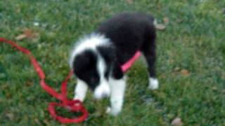 Border Collie Puppy Playing With Leash