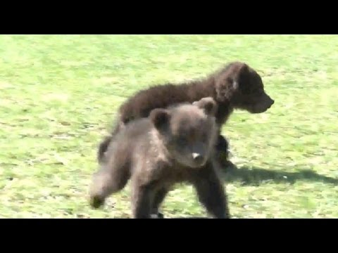 Starving bear cubs found in Montenegro, nurtured back to health