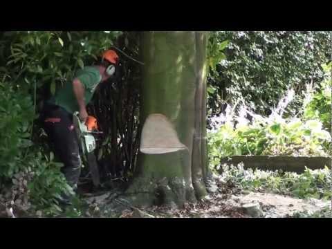 copper beech tree fell in 2 minutes