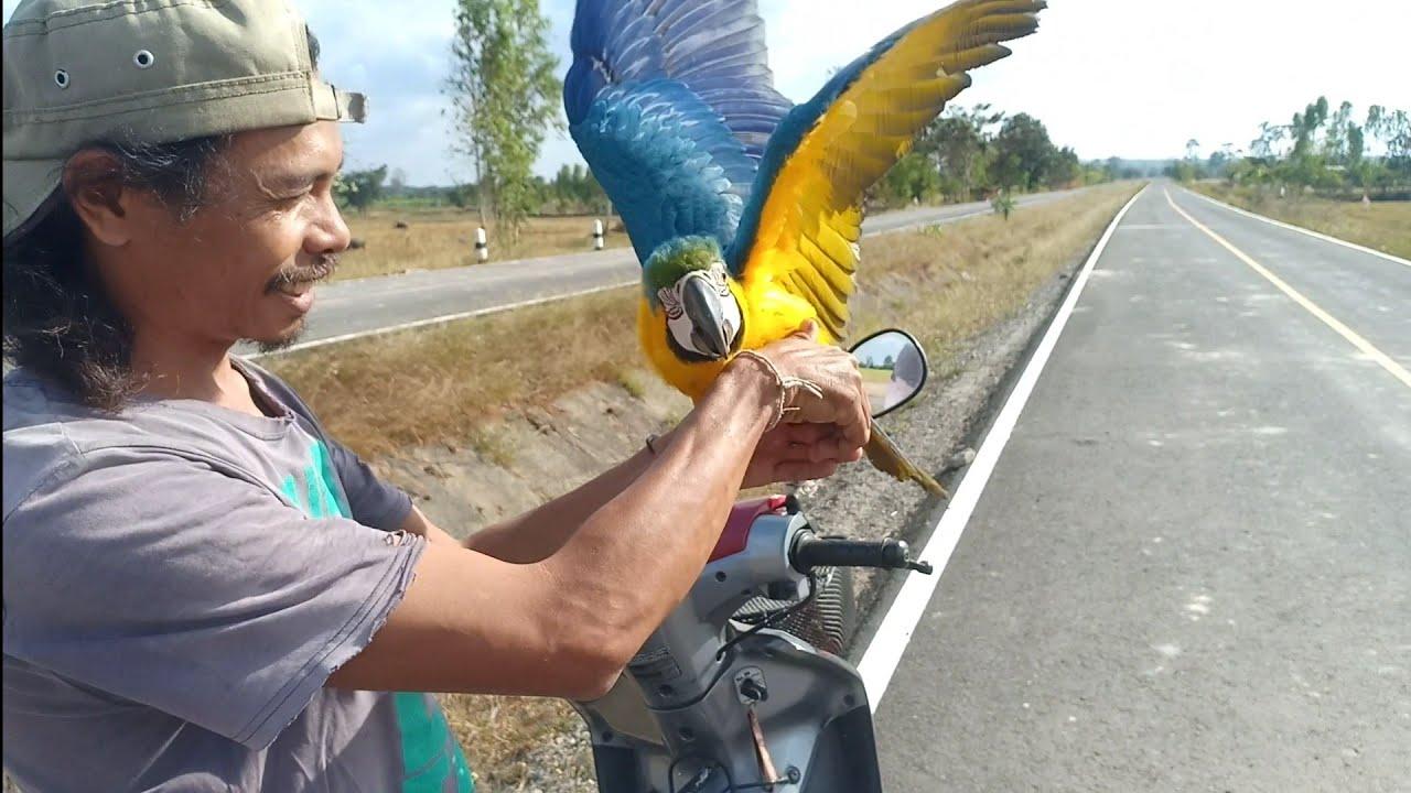 นกแก้วมาคอร์แสนรู้โฉบเฉี่ยวพริ้ว!!หัดบินครั้งแรกบินตามเจ้าของขับมอไซร์