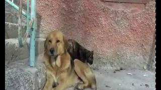 Святая рыжая собака