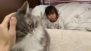 飼い主の上で寛いでいても娘には譲ることになる猫 ノルウェージャンフォレストキャットA cat giving daughter a place to relax.