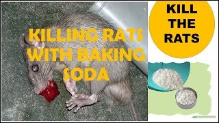 Killing rats with baking soda is the most effective fast acting home remed