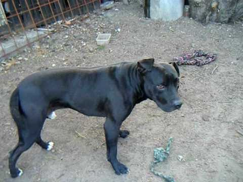 Black American Pit Bull Terrier Play for real 2