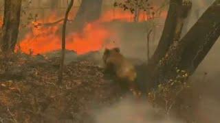 אוסטרליה עולה בלהבות: כ-350 קואלות מתו בשריפות