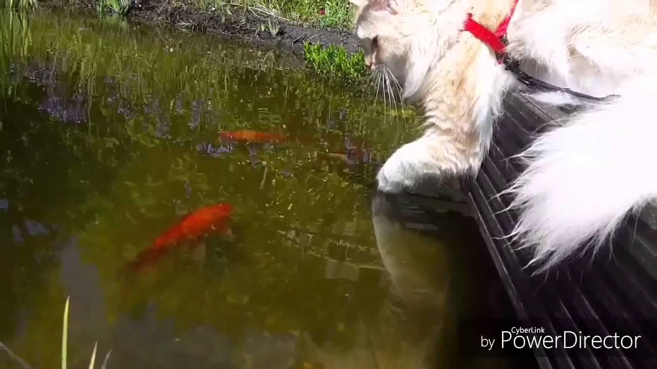 Katze am teich mit fischen katzenvideos cat life youtube for Teich mit fischen