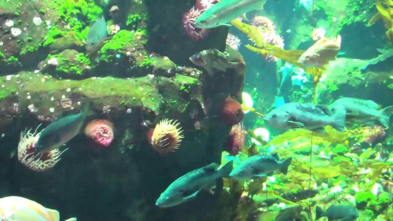 Freshwater aquarium fish vancouver - Giant Aquarium At Vancouver Yvr Airport Rock Fish Surf Perch Etc