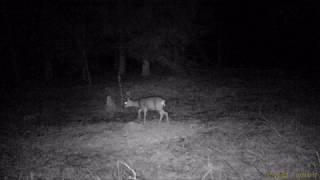 Wolf on the trail of deer /wilk na tropie jelenia Warmia i Mazury