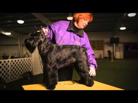 Preparing for the 2016 Westminster Dog Show, Mila the standard schnauzer