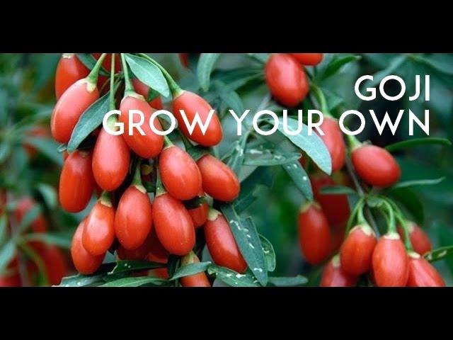 Goji Berry Tasting Lycium Barbarum Vs Lycium Chinense Youtube