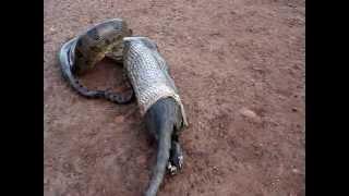Cobra Sucuri Vomitando para Escapar