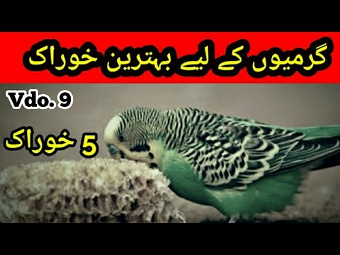 Best Food for Australian parrots In Summer: Garmi me best food in  Urdu/Hindi, |Arham Naveed| Video 9 by ARHAM's Parrots & Tech