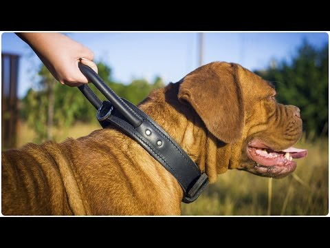 Dogue de Bordeaux wearing Training Leather Dog Collar with a Handle for Close Control