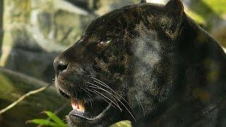 #3962. Пантеры (В мире животных)