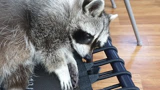 What does a whining pet raccoon sound like?