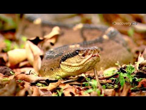 Doku Die Schönheit der Schlangen HD 1080p