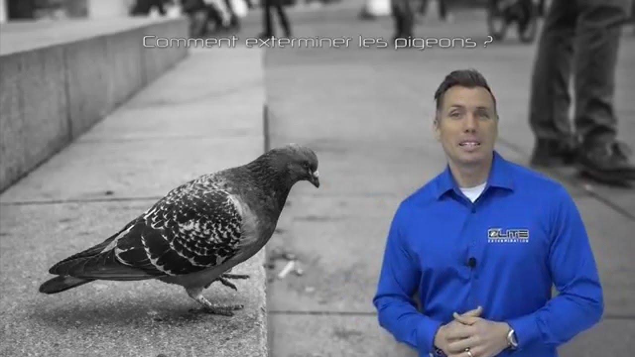 comment exterminer les pigeons lite gestion parasitaire youtube. Black Bedroom Furniture Sets. Home Design Ideas