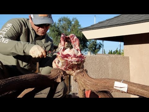SKULL CLEANING BIG BULL ELK