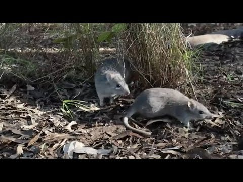 Endangered northern bettong crucial to the survival of Queensland's tropical ecosystem