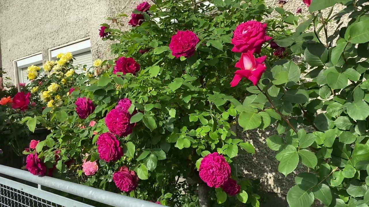 Розы в Саду.Невероятная Красота.#vlog#augsburg