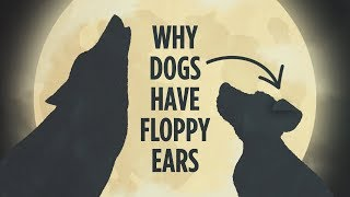 Why Dogs Have Floppy Ears: An Animated Tale | NPR's Skunk Bear