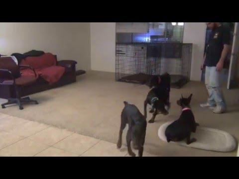 Doberman Pinscher, House Training, Puppies